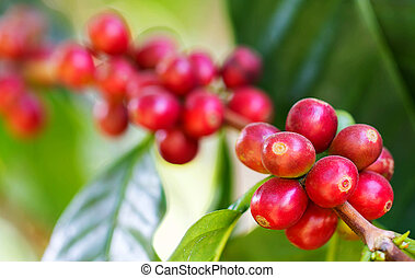 Coffee beans ripening on the branch in the twilight and blur...