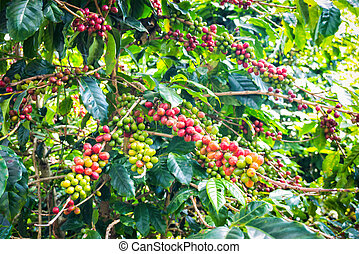 coffee beans ripening on tree in farm