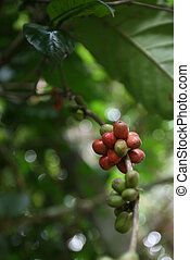 Coffee beans ripening on a vine in Sri Lanka.