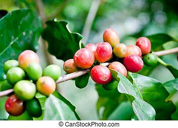 Coffee beans .
