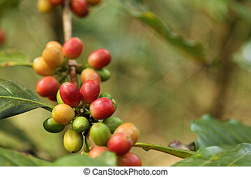 Coffee beans with branch on the tree