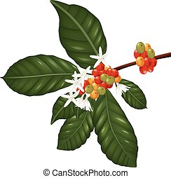 Coffee berries and blossom - Illustration of Coffee species...