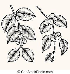 Coffee branch vector