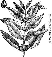 Coffee branch, vintage engraving. - Coffee branch, vintage...