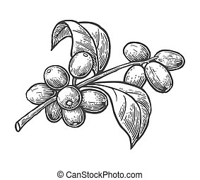 Coffee branch with leaf and berry. Hand drawn vector vintage...