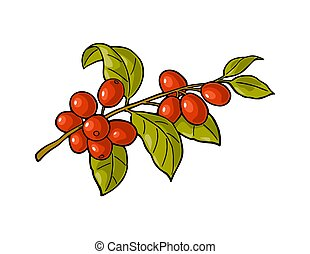 Coffee branch with leaf and berry. Vintage vector engraving