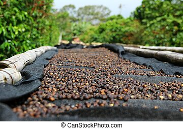 Coffee cherries lying to dry on bamboo raised beds in Boquete, Panama 1/3