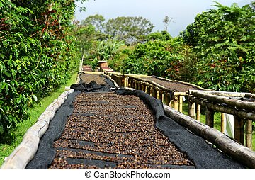 Coffee cherries lying to dry on bamboo raised beds in Boquete, Panama 2/3