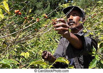 Coffee farmer picking ripe beans - Coffee farmer picking...