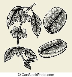 Coffee plant branch with leaf, berry, coffee bean, fruit, ...
