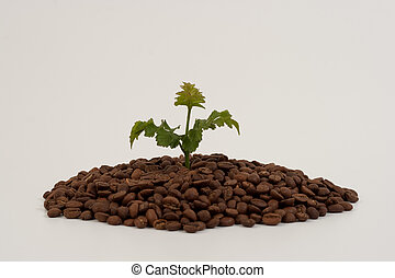 coffee plant - plant growing out o coffee beans white...