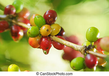 Coffee plant - Picture of a coffee berries growing on...
