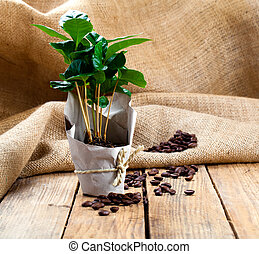 coffee plant tree in paper packaging on sackcloth, wooden background