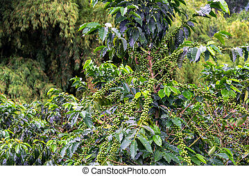 Coffee Plant with Coffee - Coffee plant covered in coffee...