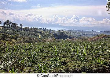 Coffee plantation in Costa Rica, just outside San Jose....