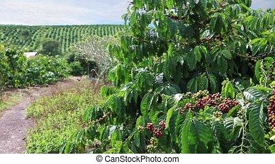 Coffee Plantation in Eastern Vietnam - Coffee plantation in...