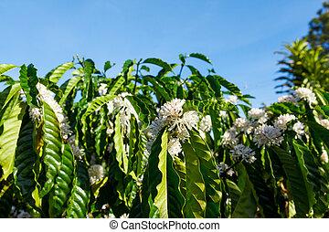 coffee plantation in Vietnam