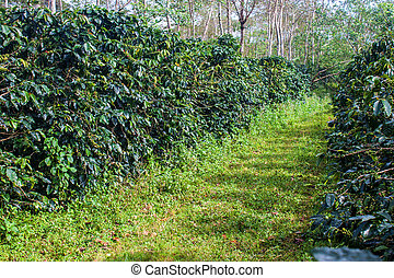 Coffee plantation on Bolaven Plateau in Laos