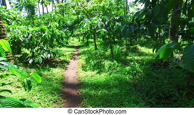Coffee plantation on Java Indonesia