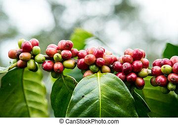 Coffee Plantation ,Paksong,Champasak Province,Laos