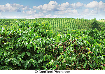 Coffee plantations of Eastern Vietnam