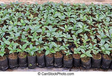 Coffee plants in a nursery