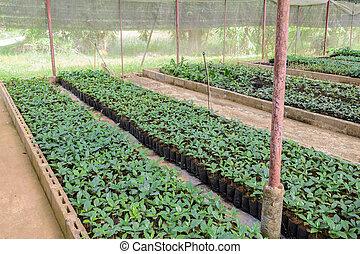 Coffee plants in a nursery - Coffee seedlings plant nursery ...