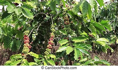 Coffee plants on a sunny summer day
