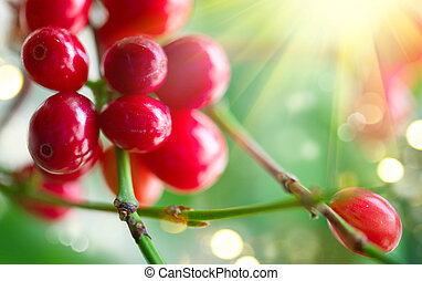 Coffee. Red coffee beans growing on a branch of coffee tree