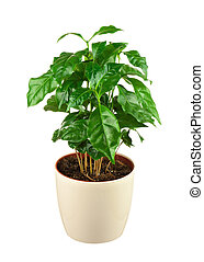 Coffee tree (Arabica Plant) in flower pot isolated on white...