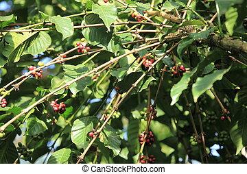 Coffee Tree - Bigodi Swamps - Uganda - Coffee Tree - Bigodi...