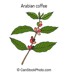 Coffee tree branch. Hand drawn illustration - Coffee tree...