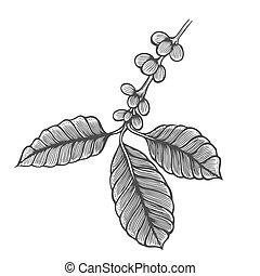 Coffee tree illustration. Engraved style illustration....