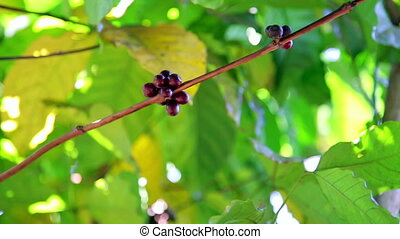 Coffee tree plantation, close up, Laos