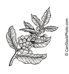 Coffee Tree with Beans Coffea Vector Illustration - Coffee...