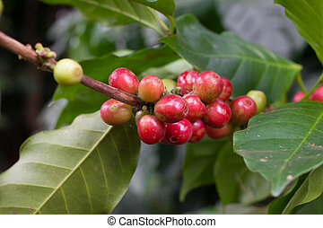 Coffee tree with ripe berries on farm.