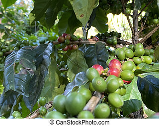 Coffee tree with ripe berries on farm, shallow Depth of Field