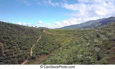 Coffee Trees in Blossom on Hill Slopes Panoramic View -...