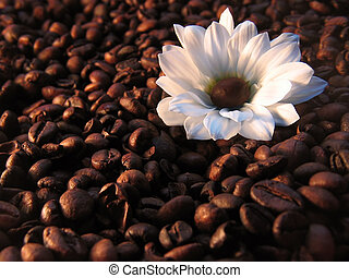 coffee with milk - white flower on coffee beans