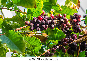 Coffeee berries ripening on the bush - A coffee bush with...