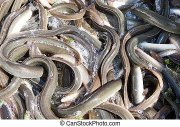 coger, anguila, barco, países bajos, pesca