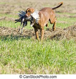 coger, perro, caza