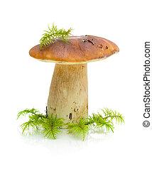 cogumelo, (boletus, grande, fundo, dulis), branca