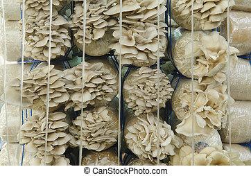 cogumelo, cultivo, farms.