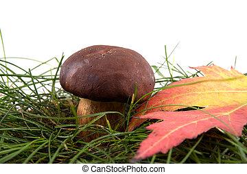 cogumelo, ligado, um, capim