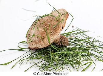cogumelo marrom, photograped, em, estúdio