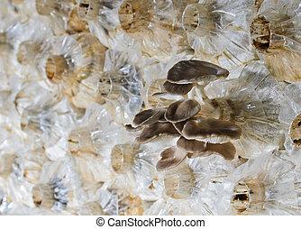 cogumelo ostra, cultivo