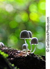 cogumelos, branca, floresta