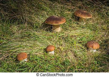cogumelos, cinco, comestível, edulis, boletus