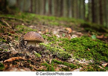 cogumelos, -, comestível, edulis, boletus